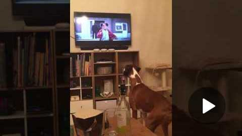 Buzz the Boxer Loving John Lewis Advert 2016